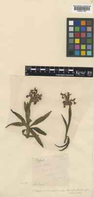 Orchis morio herbarium specimen from Asplin Wood, VC55 Leicestershire in 1903 by T E Routh.