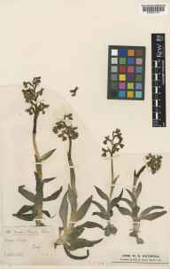 Orchis morio herbarium specimen from Clifton, VC62,VC64 in 1878 by Benjamin Bower Le Tall.