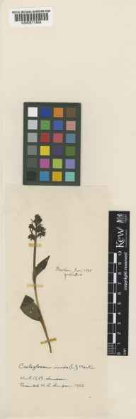 Habenaria viride herbarium specimen from Masham, VC65 North-west Yorkshire in 1893.