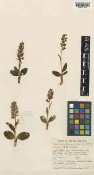 Habenaria viride herbarium specimen from Farr, VC108 West Sutherland in 1962 by Peter Francis Hunt.
