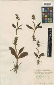 Habenaria viride herbarium specimen from North Uist, VC110 Outer Hebrides in 1961 by Peter Francis Hunt.