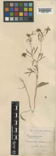 Ranunculus arvensis herbarium specimen from Oulton Broad, VC25 East Suffolk in 1902 by Mrs F Baker.