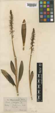 Aceras anthropophorum herbarium specimen from Buckland, VC17 Surrey in 1908 by Mr Charles Edgar Salmon.