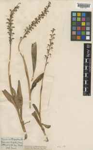 Aceras anthropophorum herbarium specimen from Compton, VC17 Surrey in 1858.