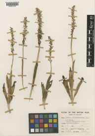 Aceras anthropophorum herbarium specimen from Cuxton, VC15 East Kent in 1958 by Clifford Charles Townsend.
