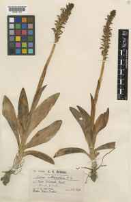 Aceras anthropophorum herbarium specimen from Crundale, VC15 East Kent in 1899 by Mr Charles Edward Britton.