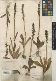 Aceras anthropophorum herbarium specimen from Box Hill, VC17 Surrey in 1883 by J Fraser.
