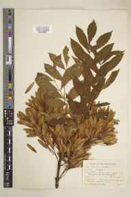 Fraxinus excelsior herbarium specimen from Bromyard, VC36 Herefordshire in 1939 by Ronald Melville.