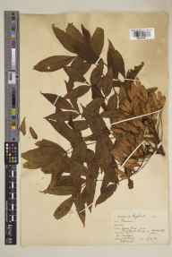 Fraxinus excelsior herbarium specimen from Woodstock, VC23 Oxfordshire in 1924 by Kenneth William Braid.