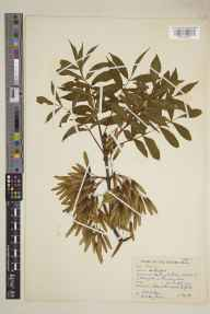 Fraxinus  herbarium specimen from Bromyard, VC36 Herefordshire in 1939 by Ronald Melville.