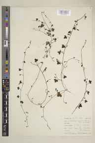 Cymbalaria muralis herbarium specimen from Nairn, VC96 East Inverness-shire in 1961 by Mary McCallum Webster.