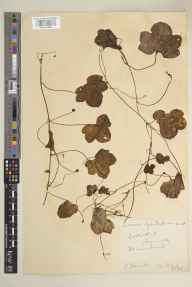 Cymbalaria muralis herbarium specimen from Lostwithiel, VC2 East Cornwall in 1931 by Mr Edgar Thurston.