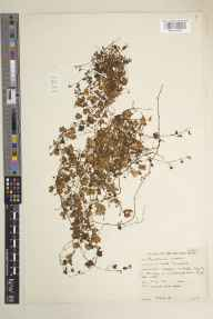 Cymbalaria muralis herbarium specimen from Shepton Mallet, VC6 North Somerset in 1961 by Peter Francis Hunt.
