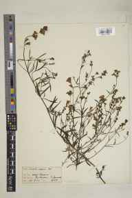 Linaria repens herbarium specimen from Par Harbour, VC2 East Cornwall in 1922 by Dr Henry Francois Devis.