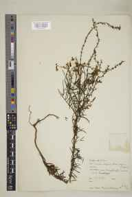 Linaria vulgaris x repens = L. x sepium herbarium specimen from Comins Coch, VC46 Cardiganshire in 1951 by Miss S MacLachlainn.
