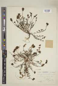 Linaria supina herbarium specimen from Par Sands, VC2 East Cornwall in 1904 by Mr Spencer Henry Bickham.