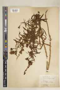 Linaria vulgaris herbarium specimen from Sark, Havre Gosselin, VC113 Channel Islands in 1928 by E A Golby.
