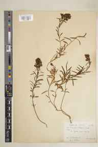 Linaria vulgaris herbarium specimen from Sark, VC113 Channel Islands in 1928 by E A Golby.