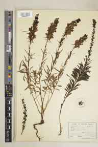 Linaria vulgaris herbarium specimen from Leatherhead, VC17 Surrey in 1937 by S Rawlings.