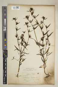 Misopates orontium herbarium specimen from Liss, VC12 North Hampshire in 1907 by James Sykes Gamble.
