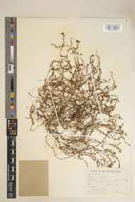 Callitriche stagnalis herbarium specimen from Flitwick, VC30 Bedfordshire in 1946 by John Patrick Micklethwait Brenan.