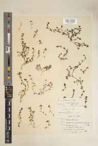 Callitriche stagnalis herbarium specimen from Joydens Wood, VC16 West Kent in 1901 by Benjamin Thompson Lowne jnr.