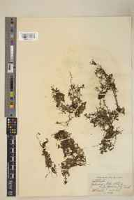 Callitriche stagnalis herbarium specimen from Thirsk, Gormire, VC62 North-east Yorkshire in 1932 by William Bertram Turrill.