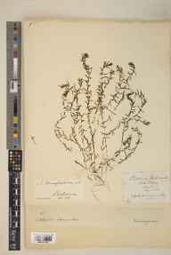 Callitriche autumnalis herbarium specimen from Loch of Clunie, VC89 East Perthshire in 1878 by Henry Maurice Drummond-Hay (British Ornithologists' Union).