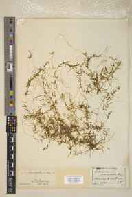 Callitriche autumnalis herbarium specimen from Kinross, VC85 Fifeshire in 1896 by Ernest Stanley Salmon.