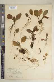 Digitalis purpurea herbarium specimen from Richmond Park, Isabella Plantation, VC17 Surrey in 1929 by Richmond Park Committee.