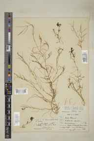 Callitriche  herbarium specimen from Crofton, Orpington, VC16 West Kent in 1901 by Benjamin Thompson Lowne jnr.