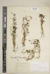 Callitriche intermedia herbarium specimen from Blaney, VCH33 Fermanagh in 1955 by Edward Norman Carrothers.
