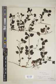 Veronica montana herbarium specimen from Devil's Ditch, VC29 Cambridgeshire in 1852 by G Hosking.