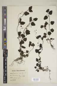 Veronica montana herbarium specimen from Pencalenick, VC2 East Cornwall in 1924 by Alfred Karl Meebold.