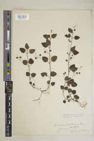 Veronica montana herbarium specimen from Millook, VC2 East Cornwall in 1915 by Mr Edgar Thurston.