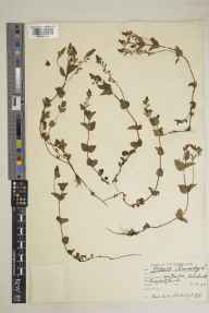 Veronica chamaedrys herbarium specimen from Bracknell, VC22 Berkshire in 1934 by Marian Muriel Whiting.
