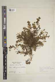 Veronica chamaedrys herbarium specimen from Cheltenham, VC33 East Gloucestershire in 1948 by Clifford Charles Townsend.