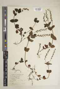 Veronica chamaedrys herbarium specimen from Bruton, VC6 North Somerset in 1936 by Frederick Kirkwood Makins.