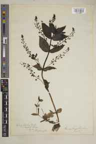 Veronica anagallis-aquatica herbarium specimen from Redhill, VC17 Surrey in 1886 by Mr Albert John Crosfield.