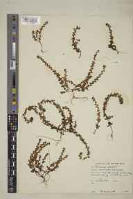 Veronica arvensis herbarium specimen from Lochmaddy, VC110 Outer Hebrides in 1961 by Peter Francis Hunt.