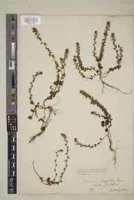Veronica arvensis herbarium specimen from Padstow, VC1 West Cornwall in 1918 by Mr Edgar Thurston.