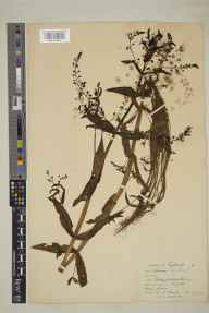 Veronica catenata herbarium specimen from Teddington, VC17 Surrey in 1926 by William Bertram Turrill.
