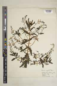 Veronica catenata herbarium specimen from Badgeworth, VC33 East Gloucestershire in 1950 by Clifford Charles Townsend.