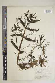 Veronica catenata herbarium specimen from Cassington, VC23 Oxfordshire in 1943 by Charles Edward Hubbard.