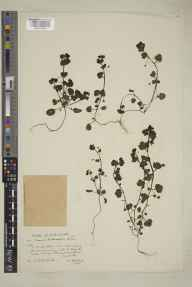 Veronica hederifolia herbarium specimen from Cornwall,Truro,Tresillian, VC2 East Cornwall in 1935 by Mrs Cecil Ivry Sandwith.
