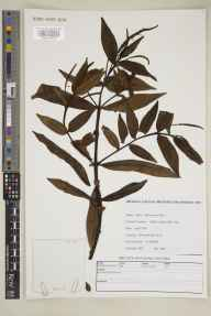 Hebe  herbarium specimen from Silwood Park, VC22 Berkshire in 2001 by M J Crawley.