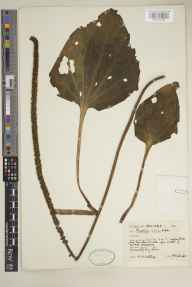 Plantago major subsp. major herbarium specimen from Cork Harbour, VCH5 East Cork in 1965 by Marian Muriel Whiting.
