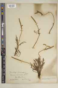 Plantago coronopus herbarium specimen from Par Harbour, VC2 East Cornwall in 1925 by Laurence T Medlin.