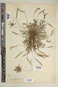 Plantago coronopus herbarium specimen from Oulton, Armingland, VC27 East Norfolk in 1807 by Sir William Jackson Hooker.