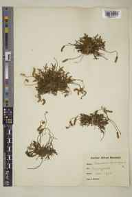 Plantago coronopus herbarium specimen from Perranporth, VC1 West Cornwall in 1924 by Alfred Karl Meebold.
